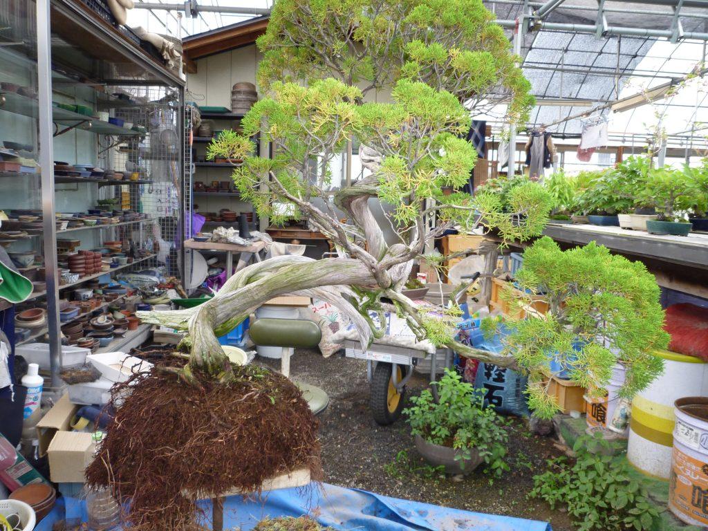 松山園の盆栽技能研修生の受け入れ、山取りシンパク
