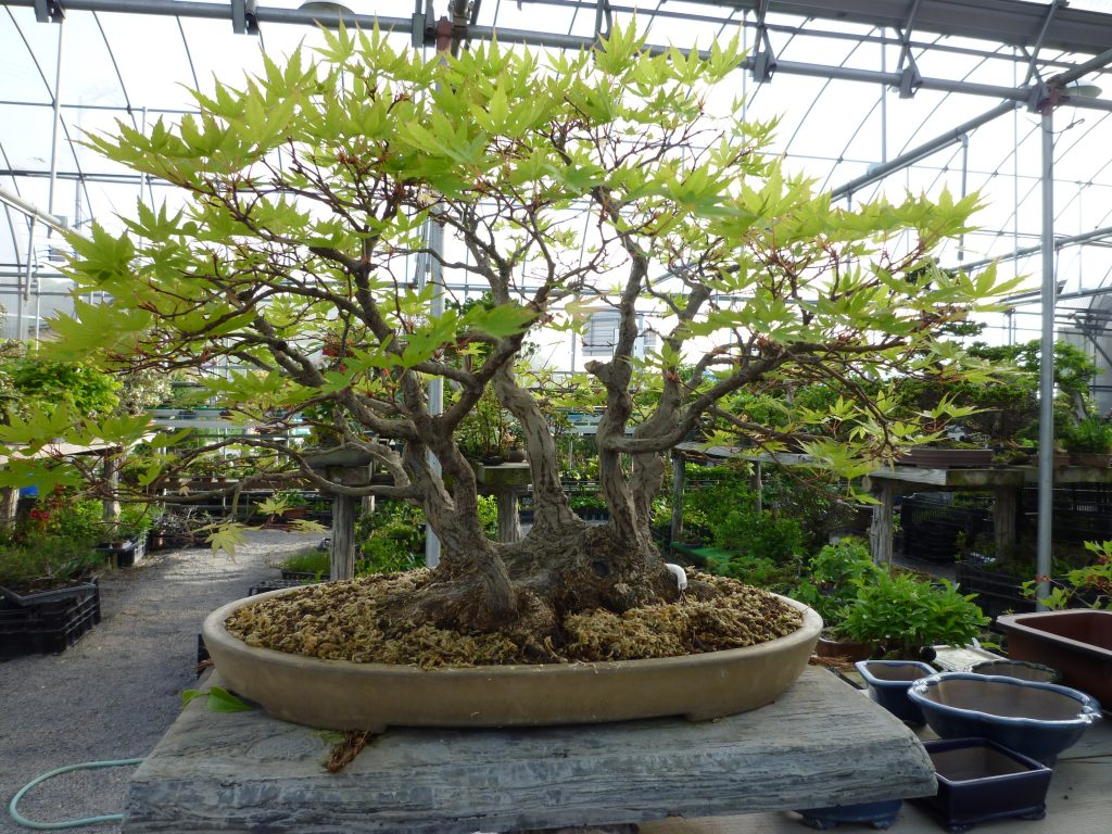 長野県須坂市にある松山園の悠遊盆栽、山もみじ