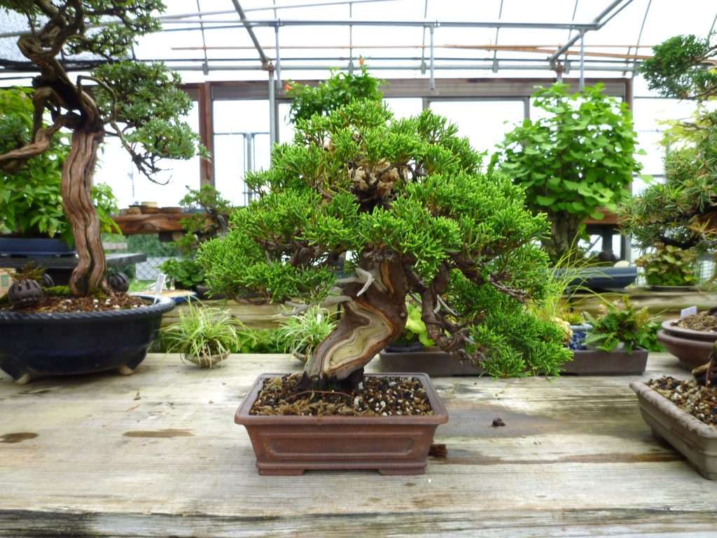 Sale of bonsai. Sale of tools and utensils for bonsai creation.