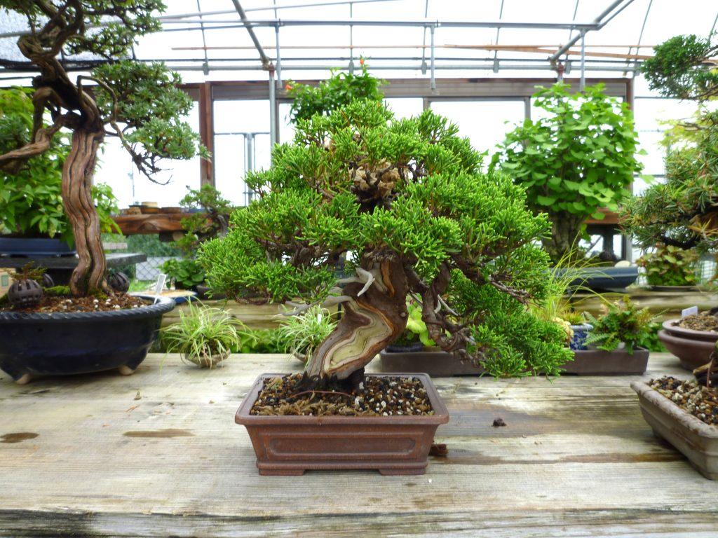 盆栽店「松山園」の事業内容、シンパク、チチイチョウ、キンロウバイの盆栽