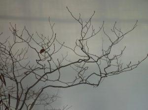 盆栽ヤマコウバシの枝ぶり