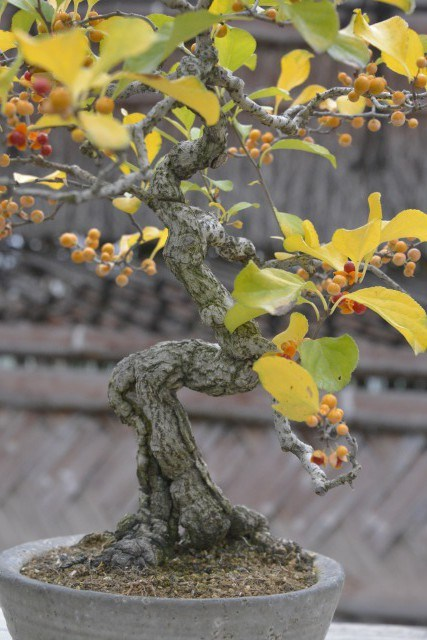 盆栽ツルウメモドキの芸