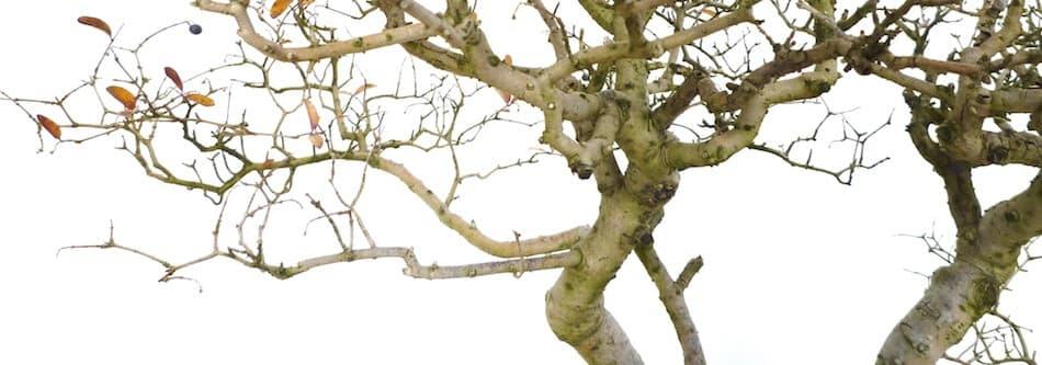 盆栽イボタの落葉した枝ぶり
