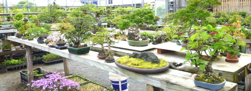 松山園の4代続く古くて新しい盆栽