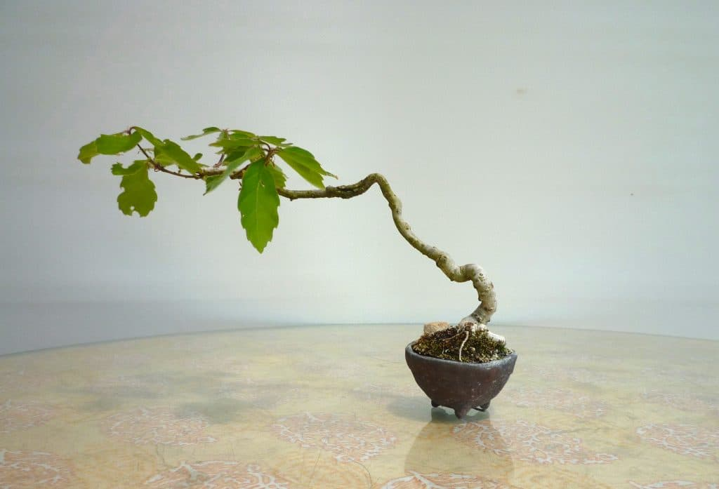 コナラのミニ盆栽