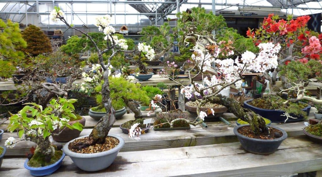 鈴梨、スモモ、山桜の花盆栽
