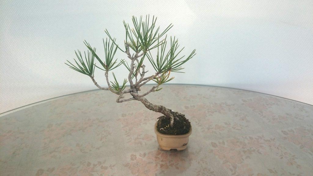 樹齢15年ほどの赤松盆栽