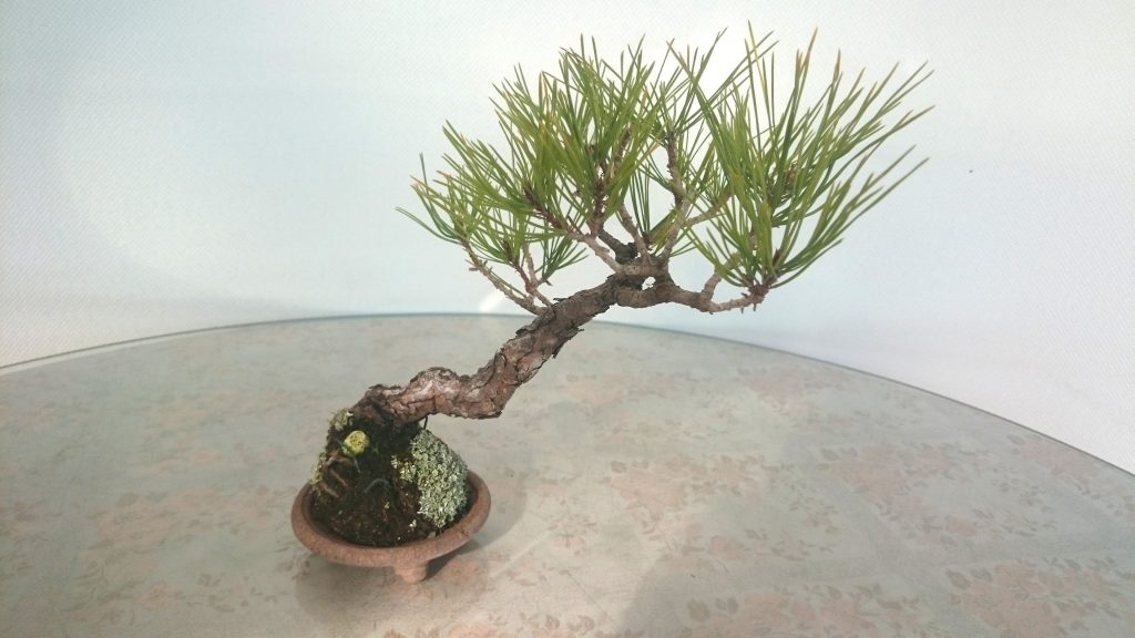 A 25 year-old bonsai of the japanese umbrella pine.