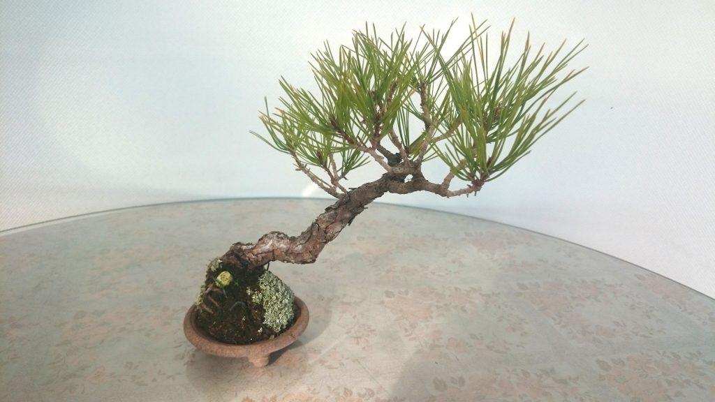 樹齢25年ほどの赤松盆栽
