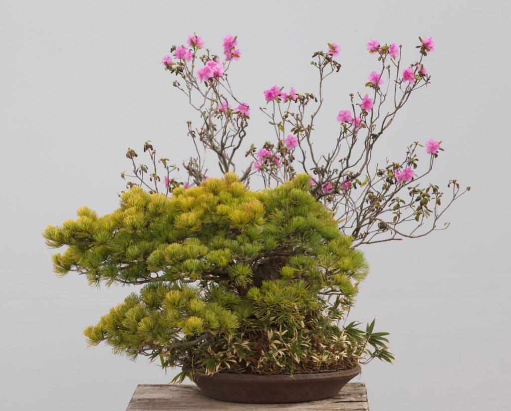 五葉松 盆栽