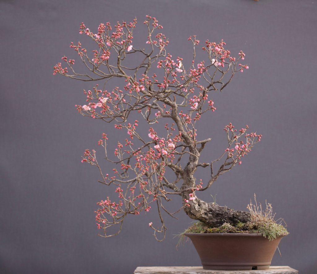 紅梅 盆栽