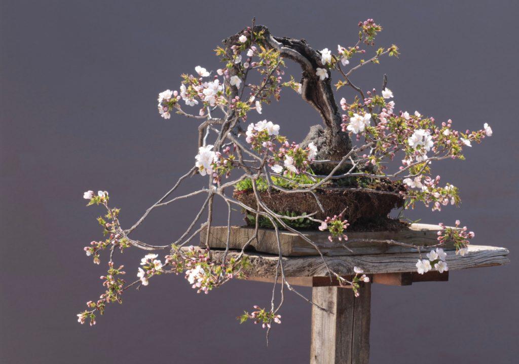 山桜 盆栽