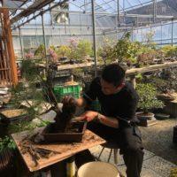 松山園盆栽教室の生徒さん風景